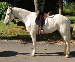 Tyke; gaited horse for sale